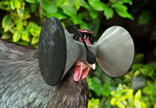 oculus rift for chickens